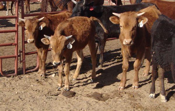 Roping Steers Fresh Crownpoint For Sale In