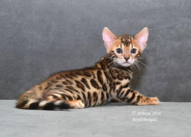 Rosetted Male Bengal Kitten Avaialble