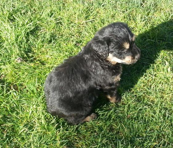 Rottles Rottweiler Standard Poodle Puppies So Adorable And