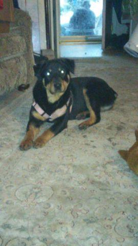 Rottsky Puppies (HUSKY/ROTTWEILER MIX)
