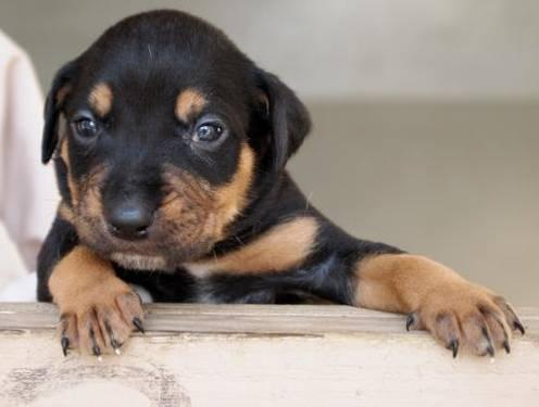 Rottweiler - Aidan - Large - Baby - Male - Dog