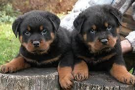 rottweiler AKC pups, German bred, full AKC registration