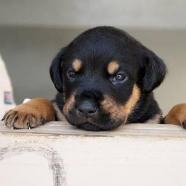Rottweiler - Ashby - Large - Baby - Male - Dog