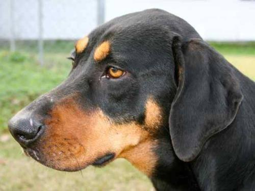 Rottweiler - Bo - Large - Adult - Male - Dog