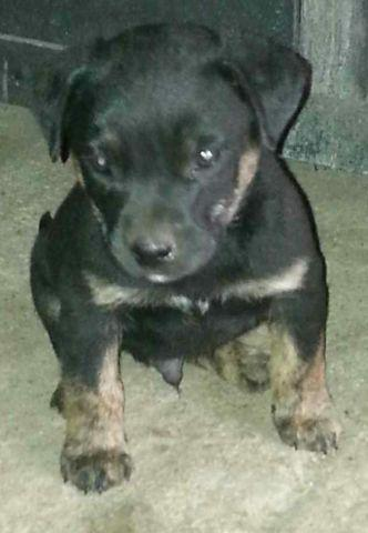 Rottweilerboxer Mix Puppies For Sale In Brickton Illinois