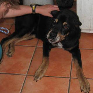 Rottweiler Buba Extra Large Senior Male Dog For Sale In Alamo Texas Classified