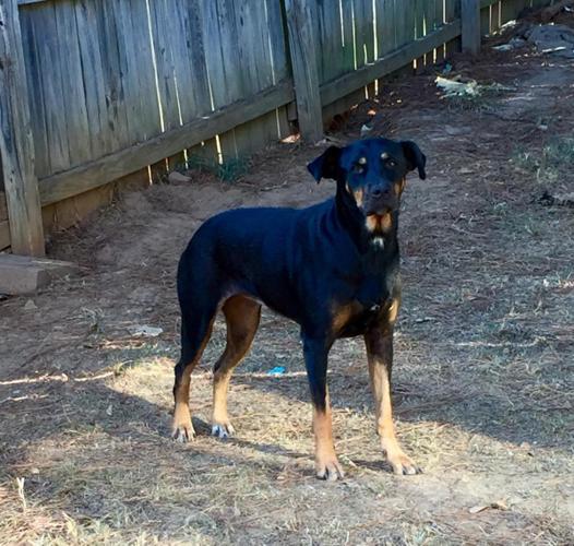 Rottweilerdoberman Mix For Sale In Longview Texas Classified