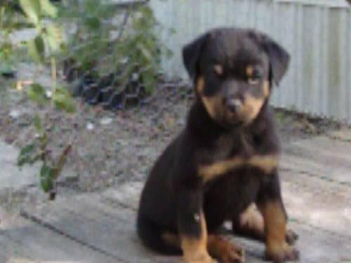 Rottweiler female pup
