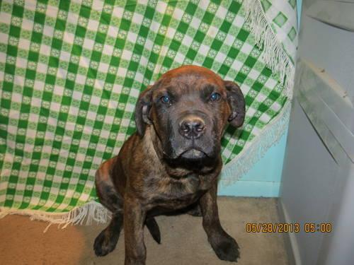 Neapolitan Mastiff For Sale In Ohio Classifieds Buy And Sell In