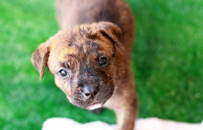 Rottweilerpit Bull Mix For Sale In Humble Texas Classified