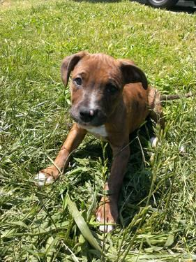 Rottweiler German Shepherd Mix Pets And Animals For Sale In