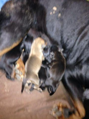 Rottweiler Pitbull Mix Puppies Pitweilers For Sale In Savannah