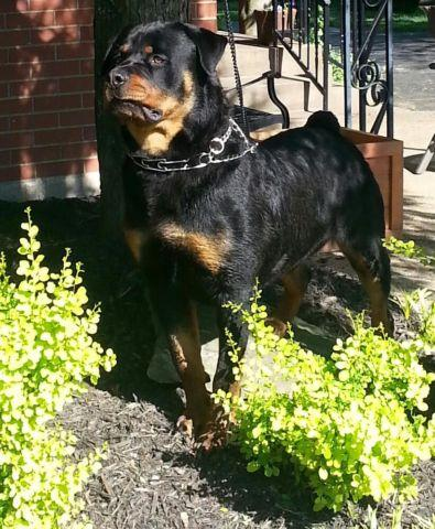 Rottweiler Puppies 8 weeks old for Sale in Louisville ...