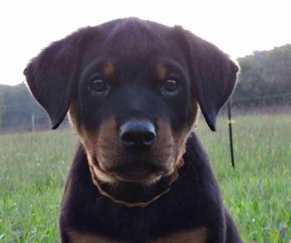 Rottweiler puppies  9 weeks old