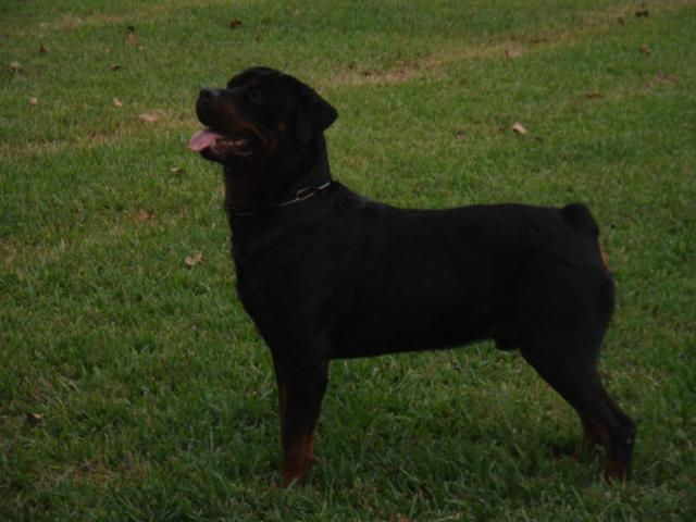 Rottweiler Puppies Akc German Import For Sale In Humble Texas
