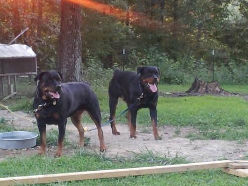 Rottweiler Puppies !!!!