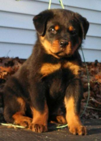 Rottweiler Puppies For Sale In Connecticut Classifieds Buy And