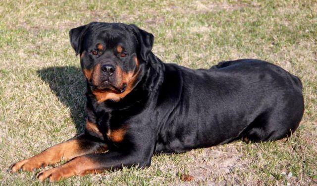 Rottweiler For Sale In Minnesota Classifieds Buy And Sell In