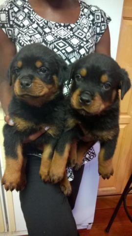 Rottweiler Puppies For Sale In Fredericksburg Virginia Classified