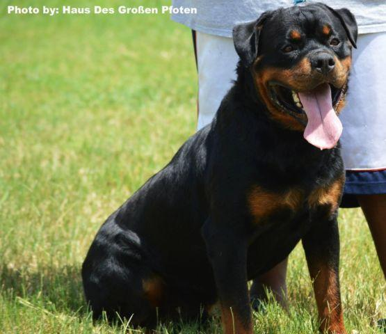Rottweiler Puppies For Sale In Houston Texas Classified