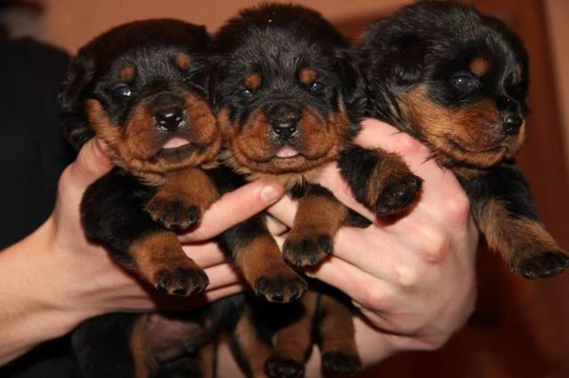 Rottweiler Puppies For Sale In New Hampshire Classifieds Buy And