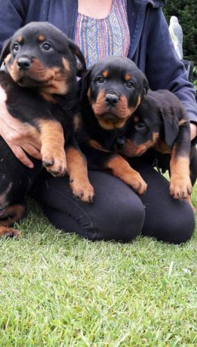 Rottweiler Puppies Available For Sale In Wichita Kansas