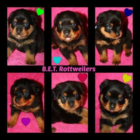 European Goldfinch Pets And Animals For Sale In Texas Puppy And