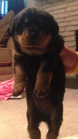 Rottweiler Puppies For Sale In Colorado Classifieds Buy And Sell