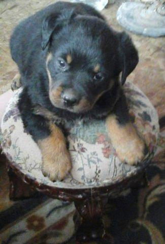 Rottweiler puppies (not papered)