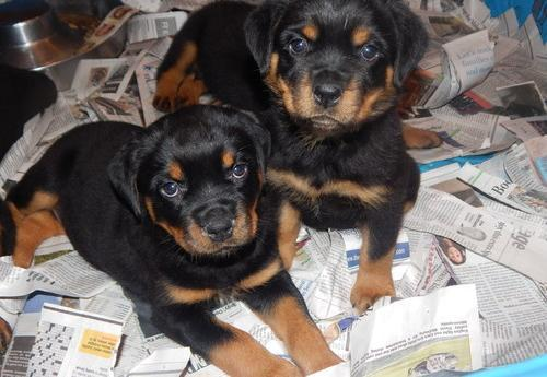 Rottweiler Puppies For Sale In Pittsfield New Hampshire Classifieds