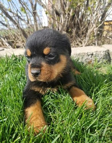 Rottweiler Puppy For Sale Adoption Rescue For Sale In Grabill