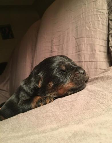 Rottweiler Puppy For Sale Adoption Rescue For Sale In Hudson