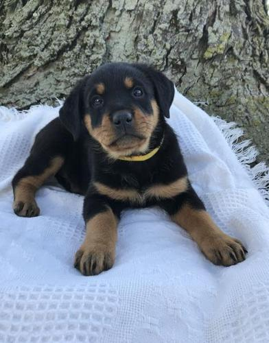 Rottweiler Puppy For Sale Adoption Rescue For Sale In Apple Creek