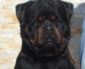 German Rottweiler For Sale In California Classifieds Buy And Sell