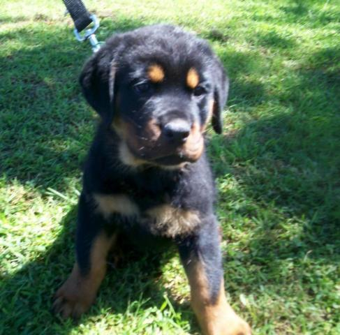 Rottweiler puppy ready now.