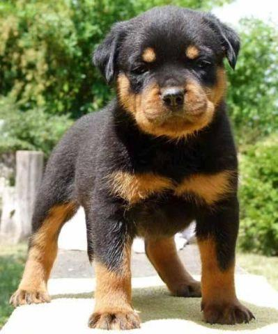 Rottweiler Pups 1 Boy 3 Girls For Sale In Tallahassee Florida