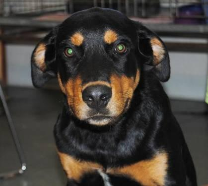 Rottweiler - Saben - Medium - Baby - Male - Dog