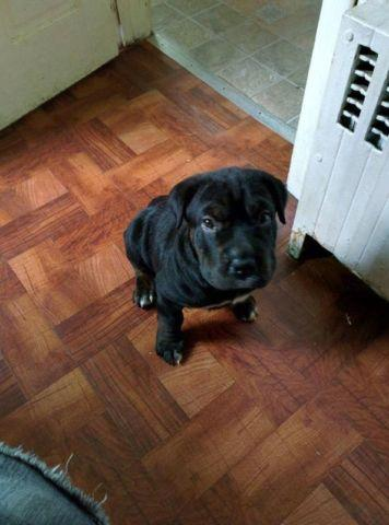 Rottweiler Sharpei Mix Puppy For Sale In Meriden Connecticut