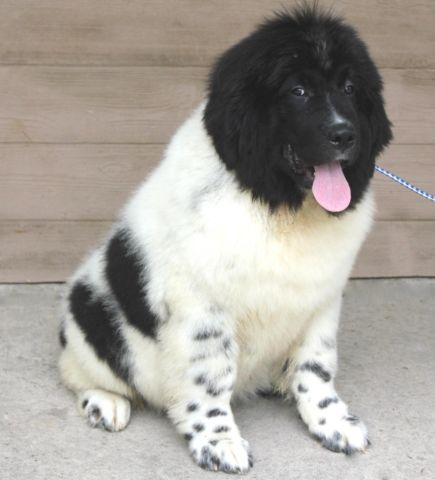 Newfoundland Puppies Pets And Animals For Sale In The Usa Puppy