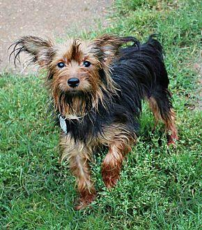 Roxie Yorkie Yorkshire Terrier Young Female For Sale In Shreveport