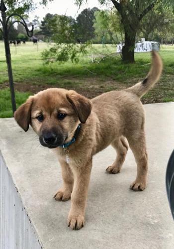 Roxy German Shepherd Dog Baby - Adoption, Rescue