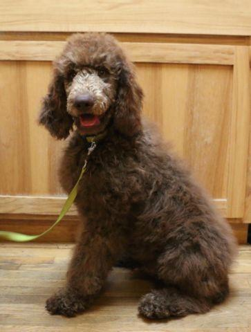 Royal Standard Poodle puppies