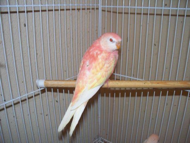 Rubino Bourke Parakeet