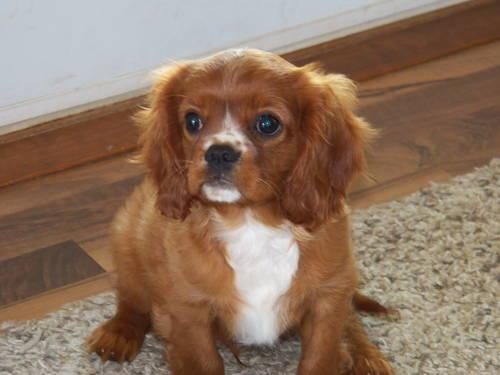 Ruby Cavalier King Charles Spaniel Puppy For Sale In Rolla