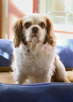 King charles spaniel adult for sale consider, that