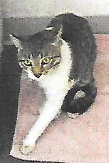 Rudy Domestic Shorthair Adult Male