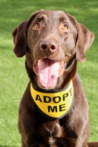 Rudy Labrador Retriever Adult - Adoption, Rescue