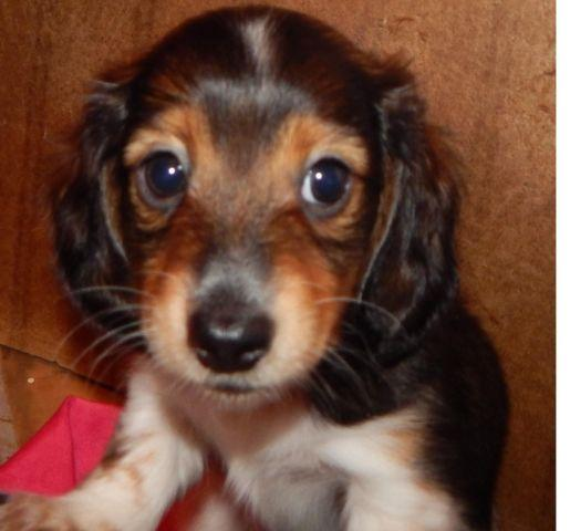 RUEBEN IS A HANDSOME SHADED RED PIEBALD MINIATURE