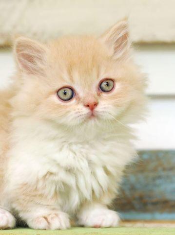 Rug Hugger Munchkin Kittens