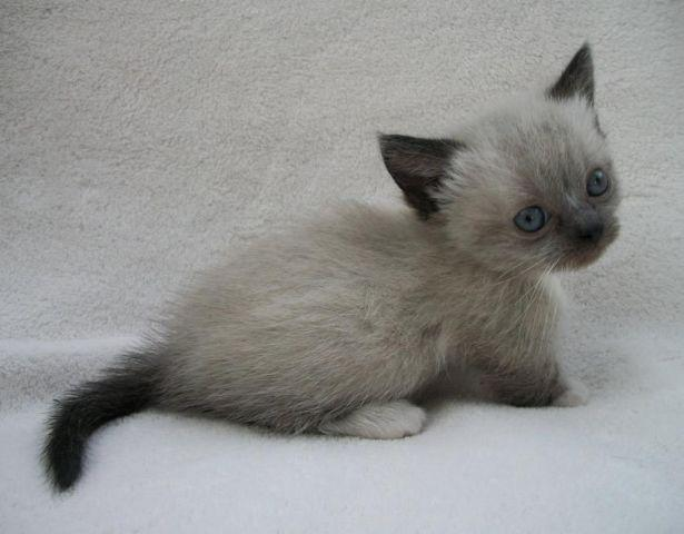 RUGHUGGER Munchkin kitten with siamese snowshoe coloring ...